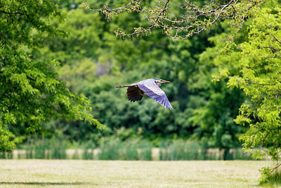 Photograph - Blue Heron In Flight by Peter Lakomy