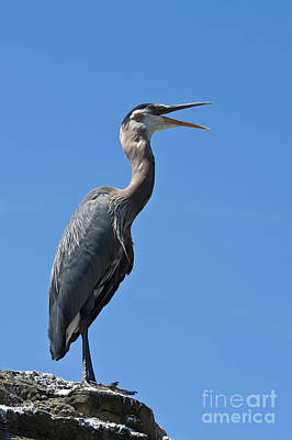 Photograph - Blue Heron by Jim Corwin