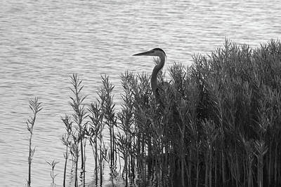 Photograph - Blue Heron by Vonda Barnett