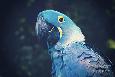 Blue Hyacinth Macaw Art Print