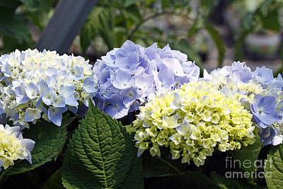 Photograph - Blue Hydrangea by Denise Pohl