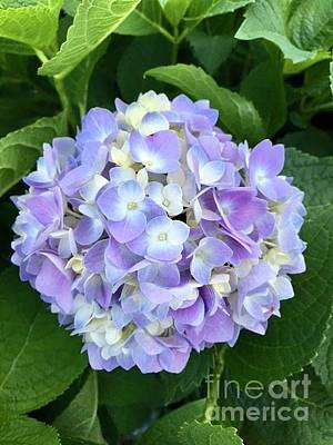 Photograph - Blue Hydrangea  by Jeannie Rhode