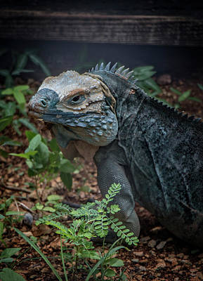 Photograph - Blue Iguana by Teresa Wilson