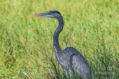 Photograph - Blue In The Grass by Deborah Benoit