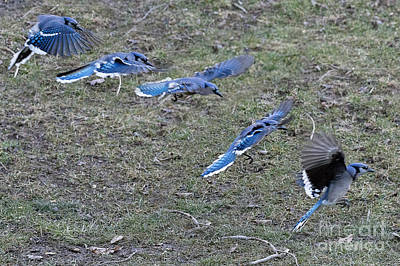 Bath Time - Blue Jay coming in for a landing by Dan Friend