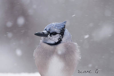 Photograph - Blue Jay In A Blizzard by Diane Giurco