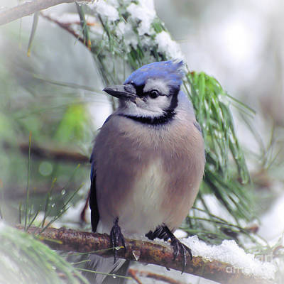 Photograph - Blue Jay In The Snow by Kerri Farley