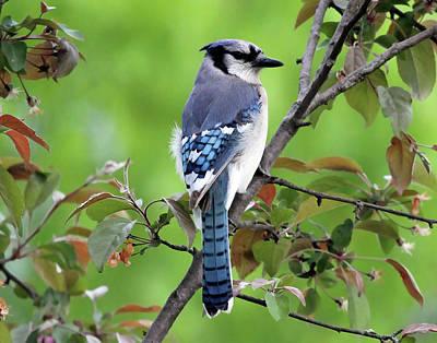 Photograph - Blue Jay by Jackson Pearson