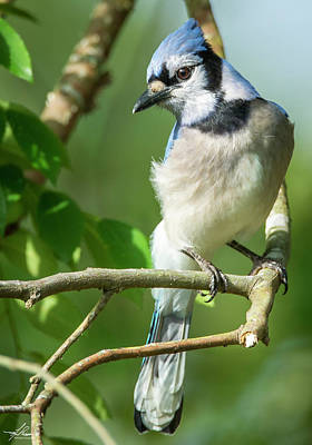 Photograph - Blue Jay by Phil Rispin