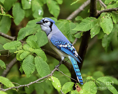 Photograph - Blue Jay by Phil Spitze