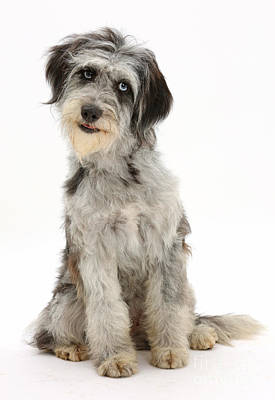 House Pet Photograph - Blue Merle Cadoodle by Mark Taylor