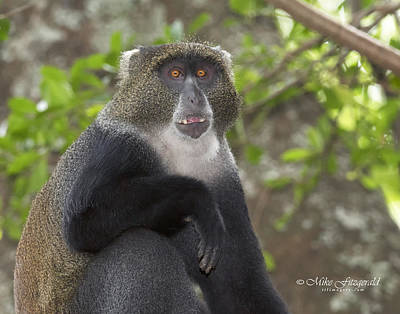 Photograph - Blue Monkey by Mike Fitzgerald