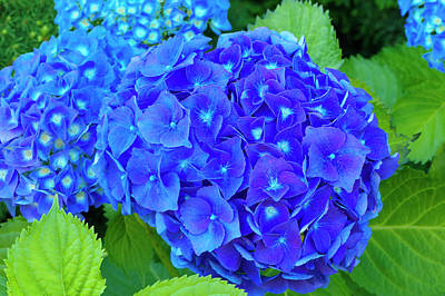Photograph - Blue Mophead Hydrangea by Sharon Talson