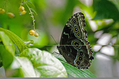 Blue Morpho Butterfly Art Print by Cheryl Cencich