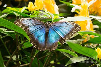 Studio Grafika Zodiac - Blue Morpho Butterfly by Victoria  Dauphinee