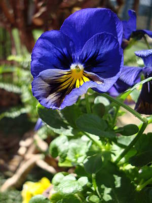 Photograph - Blue Pansy by Michiale Schneider