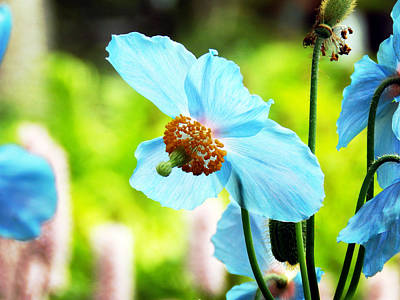 Photograph - Blue Poppy by Zinvolle Art