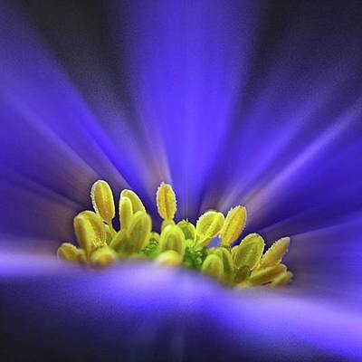 Amazing Photograph - blue Shades - An Anemone Blanda by John Edwards