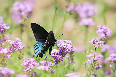 Blue Swallowtail Photograph - Blue Swallowtail Butterfly  by Saija Lehtonen