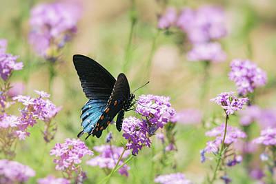 Photograph - Blue Swallowtail Butterfly  by Saija Lehtonen