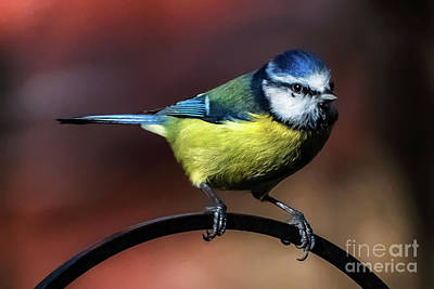 Photograph - Blue Tit by Adrian Evans
