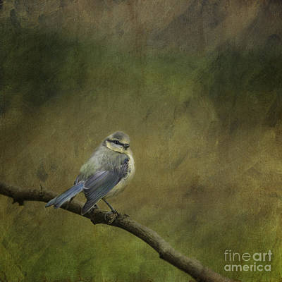 Photograph - Blue Tit by Liz Leyden