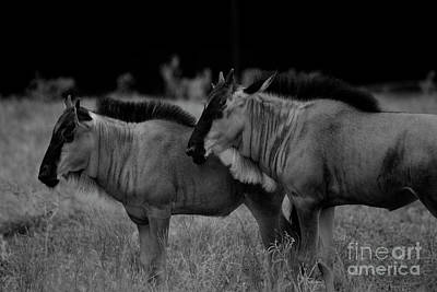 Photograph - Blue Wildebeest Black And White by Douglas Barnard