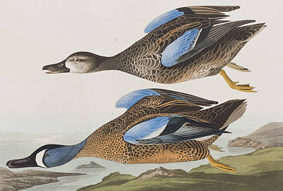 Ducks In Flight Painting - Blue Winged Teal by John James Audubon
