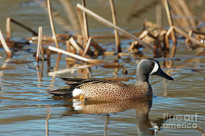Photograph - Blue Winged Teal by Natural Focal Point Photography