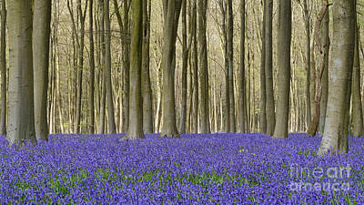 Contre-jour Photograph - Bluebell Patch by Richard Thomas