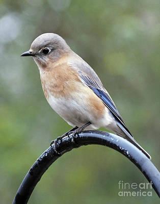 Photograph - Bluebird 2 by Lizi Beard-Ward