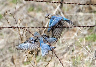 Bluebird Photograph - Bluebird Battle by Mike Dawson