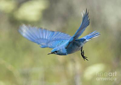 Flight Photograph - Bluebird Glide by Mike Dawson