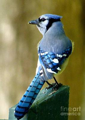 Photograph - Bluejay by Jean Wright