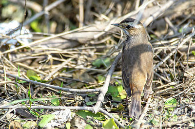 Photograph - Bluethroat by Pravine Chester