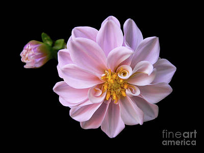 Blushing Art Print by Doug Norkum