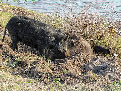 Photograph - Boar Family Foraging 001 by Chris Mercer