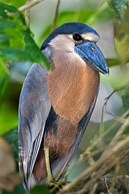 Tortuguero Photograph - Boat-billed Heron Cochlearius by Panoramic Images