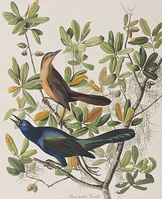 Labelled Drawing - Boat-tailed Grackle by John James Audubon