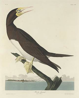 Boobies Drawing - Booby Gannet by Dreyer Wildlife Print Collections