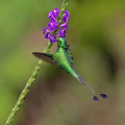 Photograph - Booted Racket-tail by Jean-Luc Baron