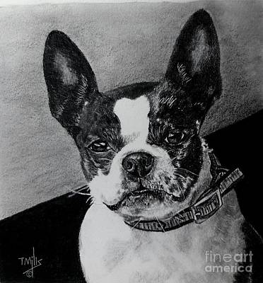 Drawing - Boston Terrier by Terri Mills