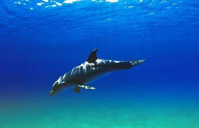 Photograph - Bottlenose Dolphin by Carson Ganci