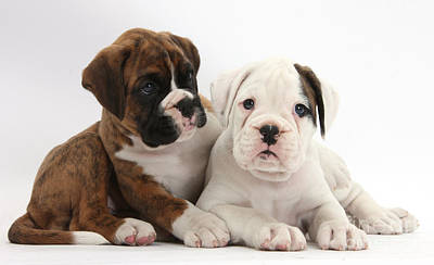 White Boxer Dog Photograph - Boxer Puppies by Mark Taylor