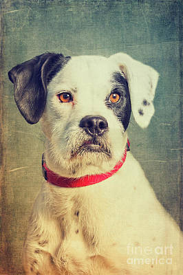 Mixed Media - Boxer-schnautzer-mix by Angela Doelling AD DESIGN Photo and PhotoArt