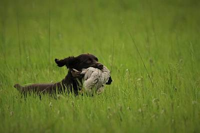 Boykin Photograph - Boykin Spaniel by Derek Stoner