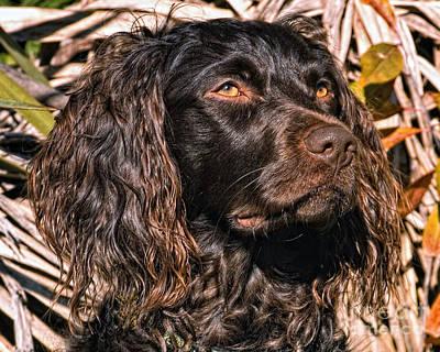 Boykin Spaniel Photograph - Boykin Spaniel Portrait Head Study by Timothy Flanigan
