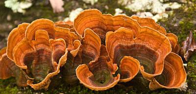 Photograph - Bracket Fungi by Douglas Barnett