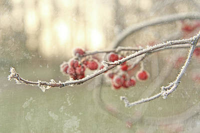 Branches With Early Winter Frost With Red Berries Art Print by Sandra Cunningham