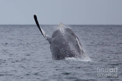 Photograph - Breaching Whale  by Steve Javorsky